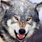 カナガン狼