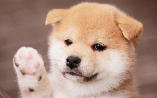 カナガン柴犬の子犬