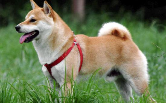 カナガンドッグフード柴犬
